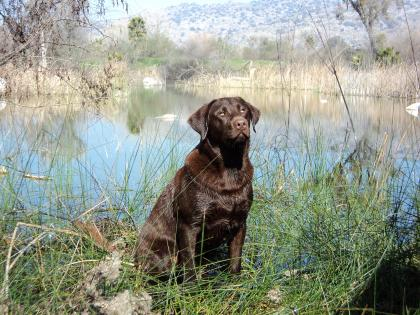 Pacific Flyway Labradors