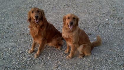 Heartland Goldens