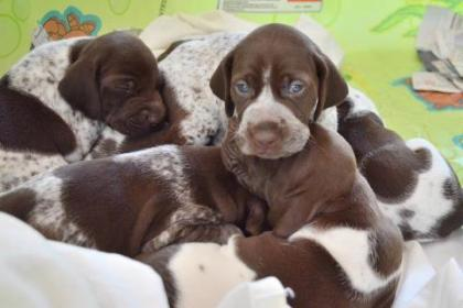 Barnick German Shorthaired Pointers