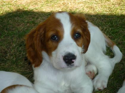 O Cleirigh Irish Red and White Setters