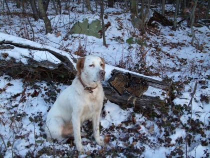 Scherder's Premium English Setters