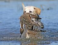 Waterfowl Retrievers