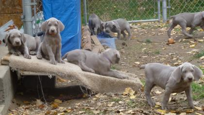 Red Mountain Weimaraner's