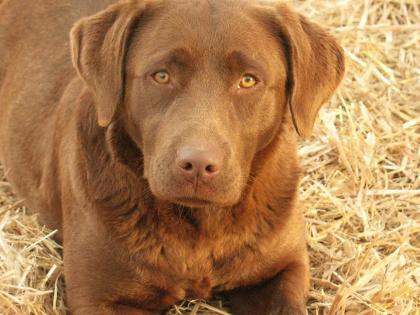 Johnson's Labrador Retrievers