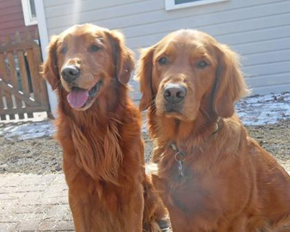 Four Lakes Goldens
