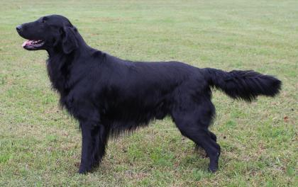 Liberty Flat-Coated Retrievers