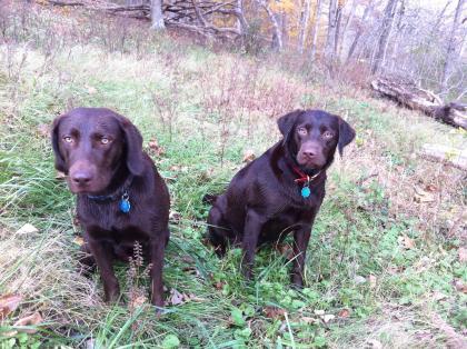 Hood's Labradors
