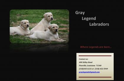 Gray Legend Labradors