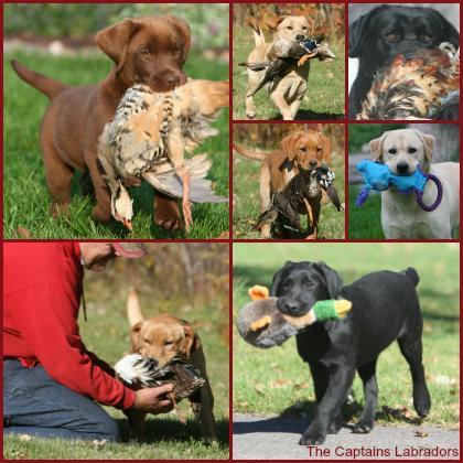 The Captain's Labradors & Dal-Rhe Kennels