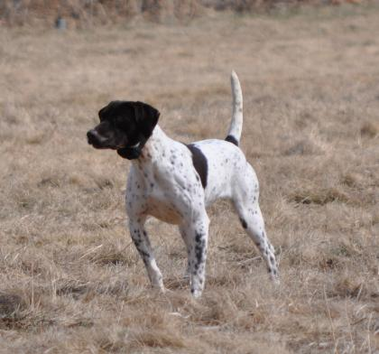 Hunting Dog Trainer.net