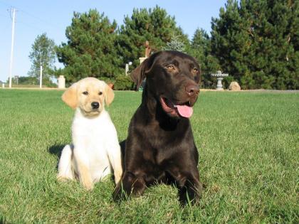 Furzland's Field Labradors