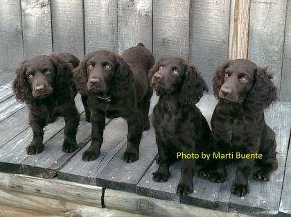 Town and Country Boykin Spaniels