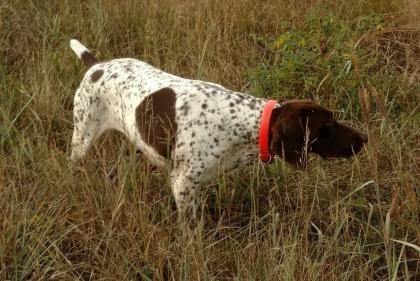 LC Diamond Kennels German Shorthairs