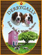 Derrygally Irish Red and White Setters