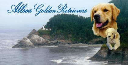 Allsea Golden Retrievers