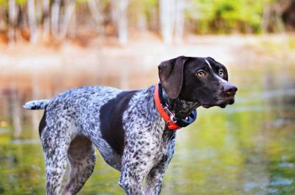 Coast Bound German Shorthaired Pointers