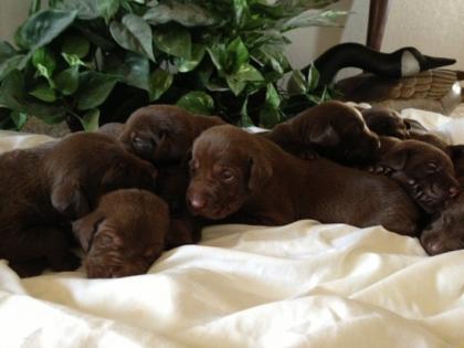 S and J's Peformance Labradors