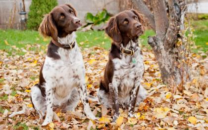 Riava Small Munsterlander Hunting Dogs