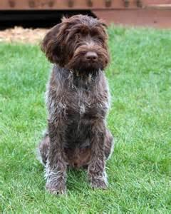 German wirehaired pointer La.