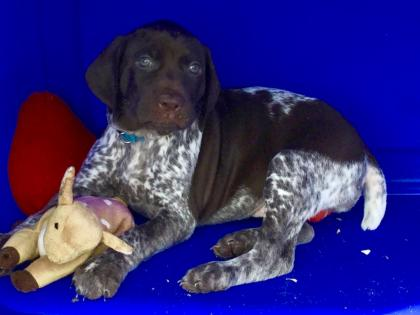 Fast Brooks German Shorthaired Pointers