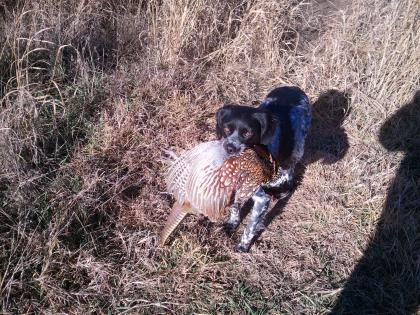 Rambo's Pheasant Run Kennels