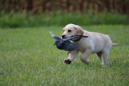 Simpson's Labrador Retrievers