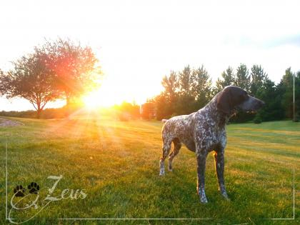 AF's German Shorthairs & Fellows Shorthairs