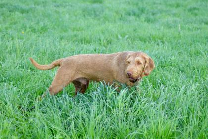 Compass Wirehaired Vizslas