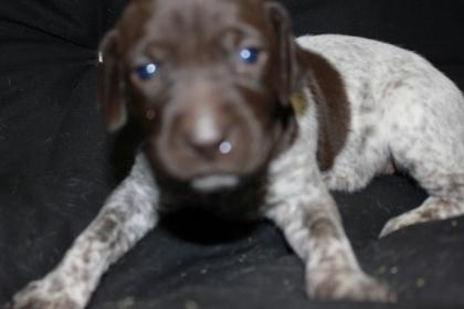 Patman German Shorthair Pointers