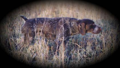 Fogelhund Kennel Registered