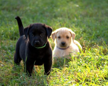 Rennwood Labradors