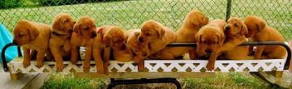 Red Labrador Retrievers