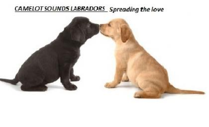 camelot sounds labradors