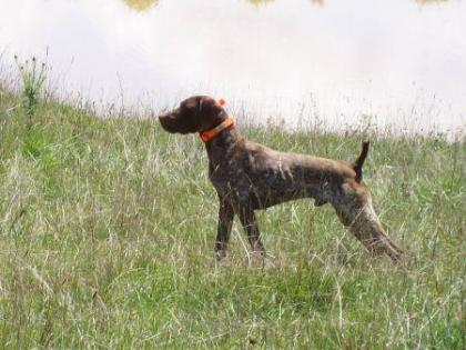 Great West Gundogs