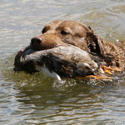 Mesa Ridge Chesapeake Bay Retrievers