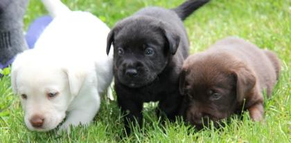 Udonstar Labradors