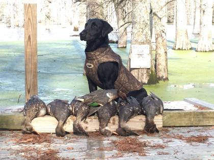 Cornerstone Retrievers and Gun Dog Academy