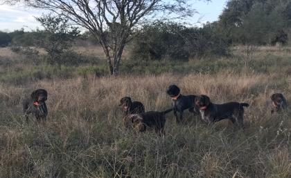 TC's   German Wirehaired Pointer's  Texas