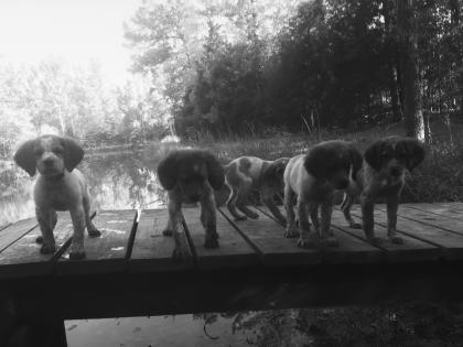 Lost Highway Gun Dogs