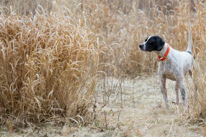 ****BLUE BRIAR KENNELS & GAMEBIRDS****