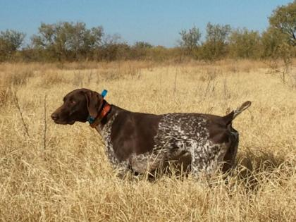 Blue Mountain GSP's