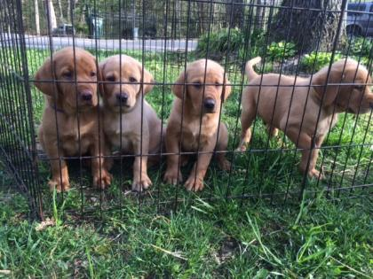 AKC registered Fox Red Labs