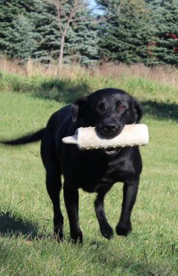 Goldeneye Retrievers - Iowa Antler Sheds, Field Trialing, Hunt